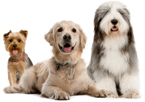 Golden Retriever, Yorkie, Sheep Dog